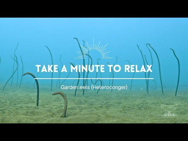 Take a Minute IV: Garden eels (Heteroconger)