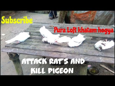 Cat attack pigeon and loft empty all kabootar death in Howrah by Raza photography & Technical