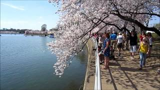 Cherry Blossom Festival 2013 - Washington DC - The Best Of