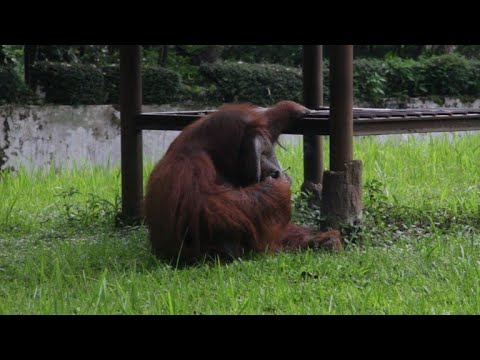 Smoking orangutan at Indonesian zoo sparks furore