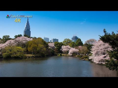 [4K] 新宿御苑の満開桜映像 Shinjuku Gyoen National Garden cherry blossom trees are in full bloom