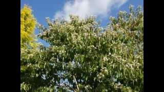 Heptacodium miconioides video