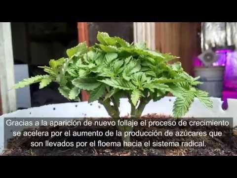 Técnica avanzada cultivo cannabis - parte 1  Bonsái SúperLining