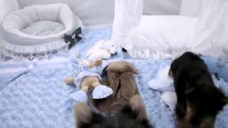 Teacup Yorkshire Terrier Teacup Puppies For Sale 2014