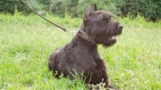 Riesenschnauzer, Amstaff And Rottweiler Wearing Spiked Design Dog Collar