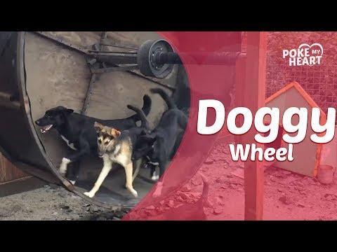 Dogs Enjoy Running in Giant Hamster Wheel