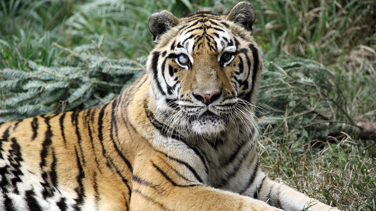 International Tiger Day Help Tigers In The Wild Youtube