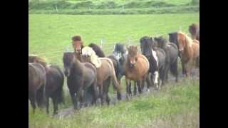 MEET THE ICELANDIC HORSE -- This is what it