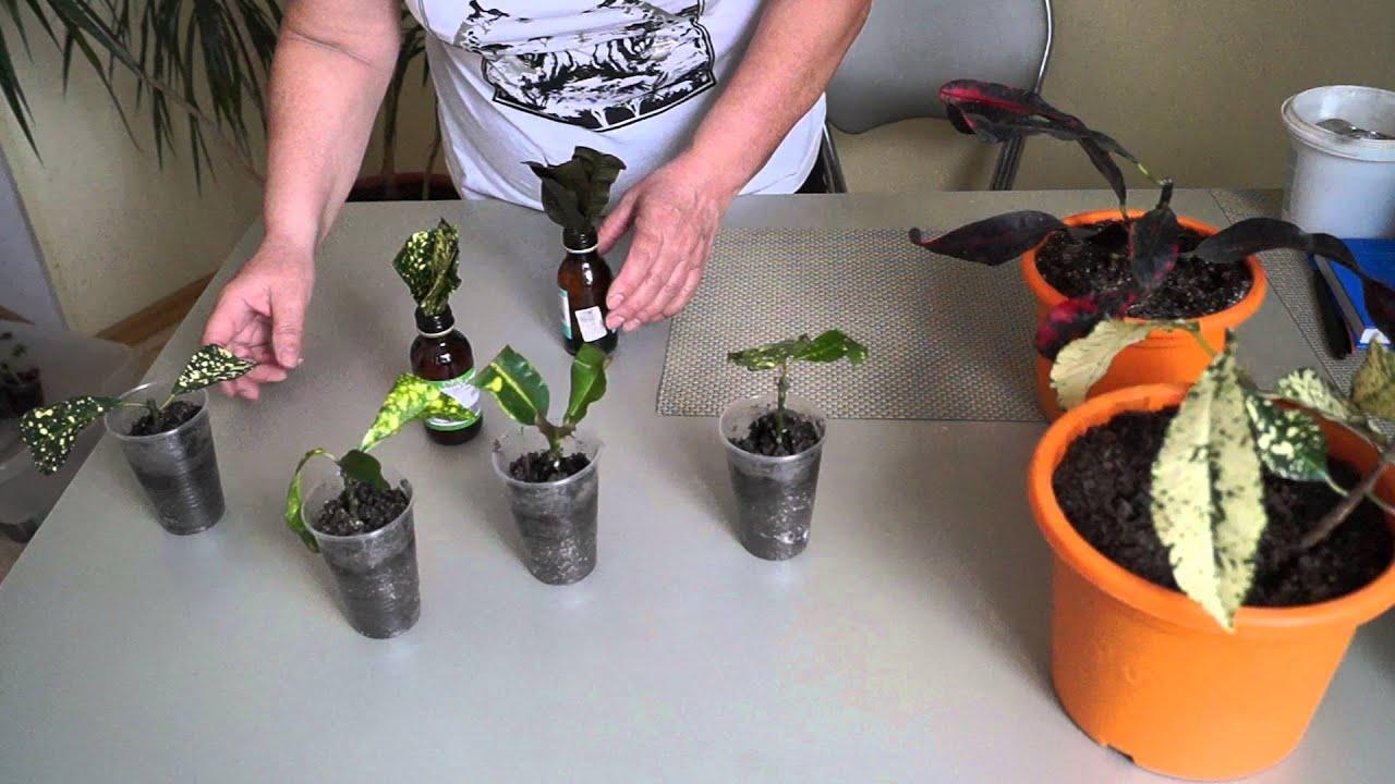 Кодиеум купить по оптовым ценам в интернет магазине florium. Ua. Доставка. Кодиеум petra фото. Цветок кротон (кодиеум) может достигать в высоту более 2 метров в саду, в помещении же его длина редко превышает 70 см.