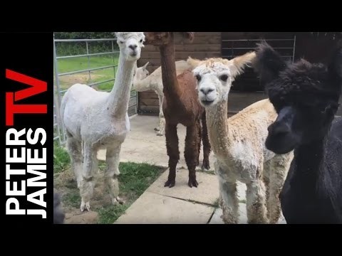 Peter James | Animals | Alpaca Shearing