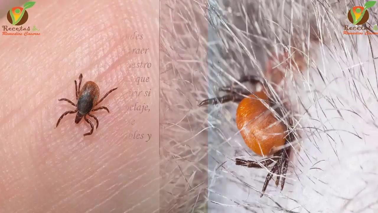 Eliminar pulgas de casa good imagem intitulada eliminate fleas from your home for free step - Matar pulgas en casa ...