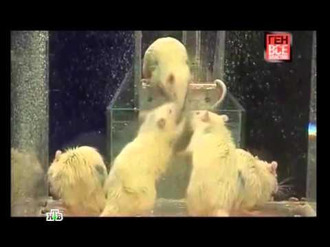 Ген всевластия. Эксперименты с крысами Дидье Дезора