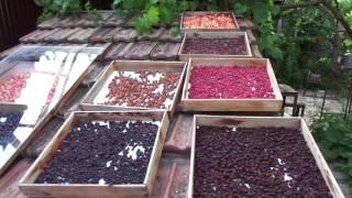 видео Сушка плодов и ягод