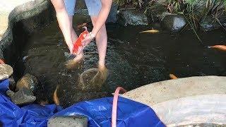 Cái kết cho hồ cá koi nhà nghèo 1 năm không thay nước,cho ăn quá nhiều -} thay 100% nước hồ cá.!