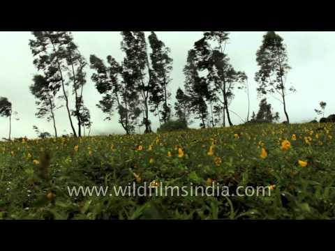 Smithia hirsuta flower carpets spread across Kaas Plateau of flowers, Satara