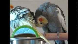 Pet Bird Behaviors and What They Mean