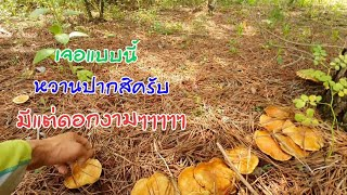 #เข้าป่าหาเก็บเห็ดเกาหลีมาแกง จะเหมือนกันกับเห็ดไทยหรือไม่ตามไปดูครับผม