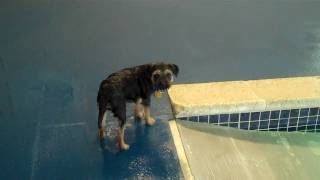 Border Terrier Puppy's First Time In The Doggie Pool At The Barking Dog