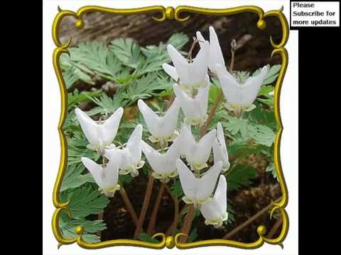 White Dicentra Cucullaria | Picture Set Of Beautiful Folwers