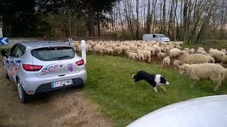 moutons échappés