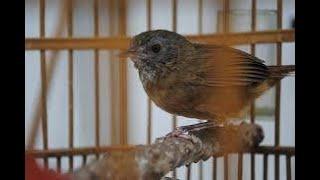 Burung Mungil Sejuta Suara | Pesona Suara Wambi mini