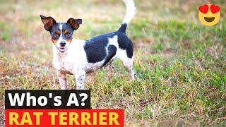 Rat Terrier: What you should know about this dog breed?