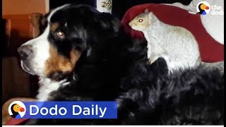 Squirrel Buries Nuts In Dog Best Friend's Fur: Best Animal Videos | The Dodo Daily thumbnail
