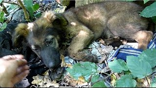 terrified german shepherd puppy abandoned in the woods gets rescued just in time