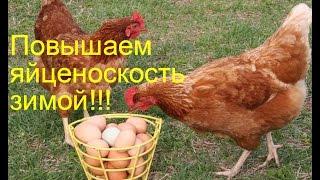 как повысить яйценоскость у кур зимой. 3 способа.Chickens