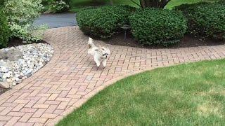 Crazy Shih Tzu Dog Lacey Has The Zoomies Again...
