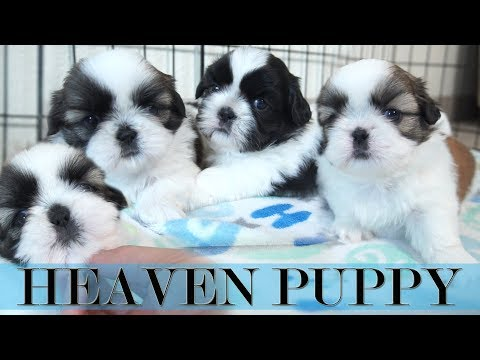 This is what PUPPY HEAVEN looks like | Shih Tzu puppies