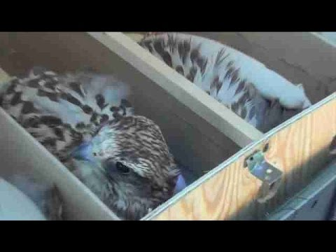 Kazajistán impide el contrabando de 32 halcones a Emiratos Árabes Unidos