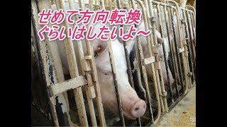 繁殖豚(子供を産ませる)以外は、 生後半年程度で、 出荷、(殺される...