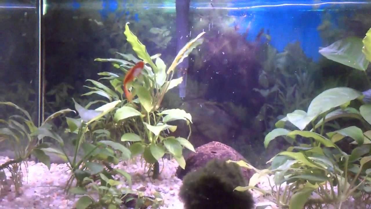 Acuario de mollys y xiphos peces tropicales 2013 youtube for Temperatura para peces tropicales acuario
