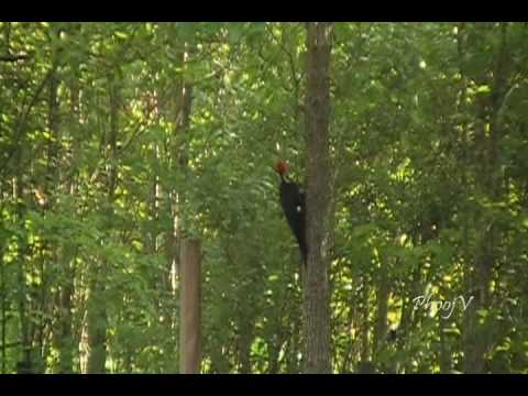 Pileated Woodpecker with Calling