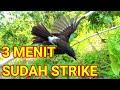Mikat Burung Perdana Test Burung Ribut Hasil Ok  Mp3 - Mp4 Download