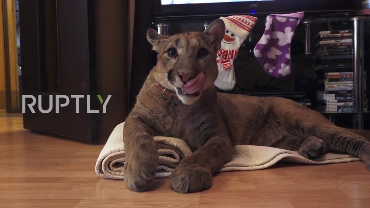 d2d4d90c Russia: Couple adopt pet Puma named Messi