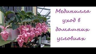 видео Цветок мединилла размножение, уход и персадка в домашних условиях с фото