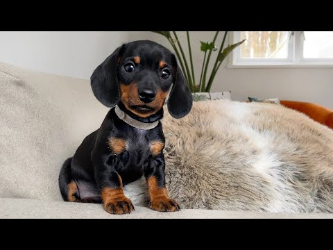 The calmest dachshund puppy of all.