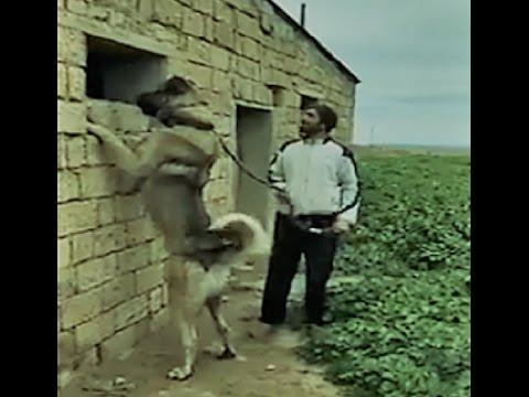 Kangal Dog - The Power House!!!