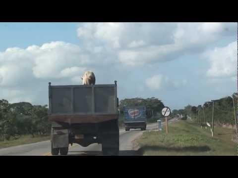 PIG ESCAPE-ORIGINAL VIDEO Maiale salta da un camion-Cuba.MTS