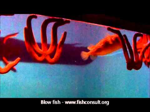 Blow fish (biology -- poisoning -- utilization)