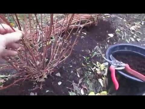 Обрезка и подготовка гортензий древовидных к зиме