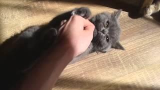 Шотландский котенок голубого окраса