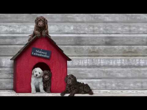 Home - Midwest Labradoodle
