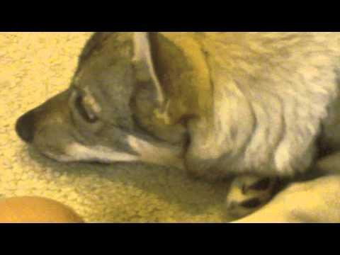 Barrnie the Swedish Vallhund