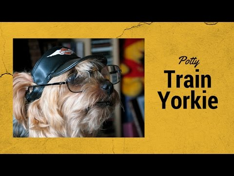 how-to-potty-train-a-yorkshire-terrier