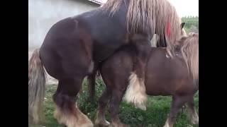 Horse Mating Animals Mating