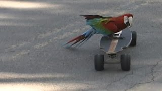 Meet Tony Squawk – The Skateboarding Parrot