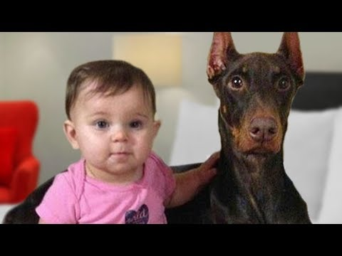 Doberman Protects Baby Compilation NEW
